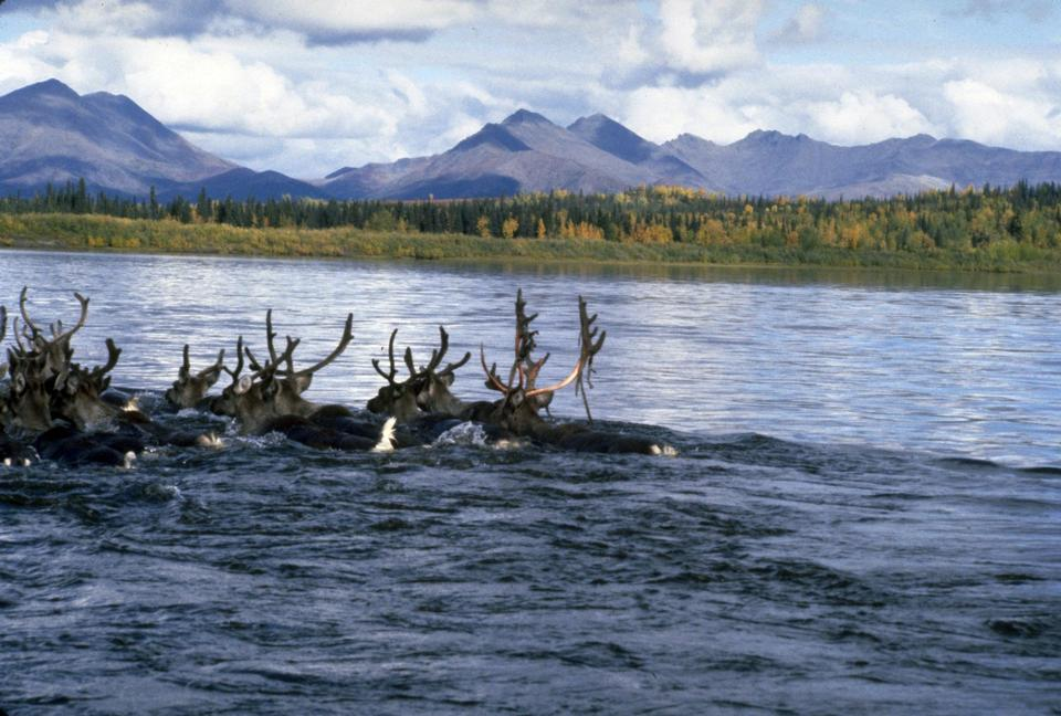 Big hooves Swimming the Kobuk National Park