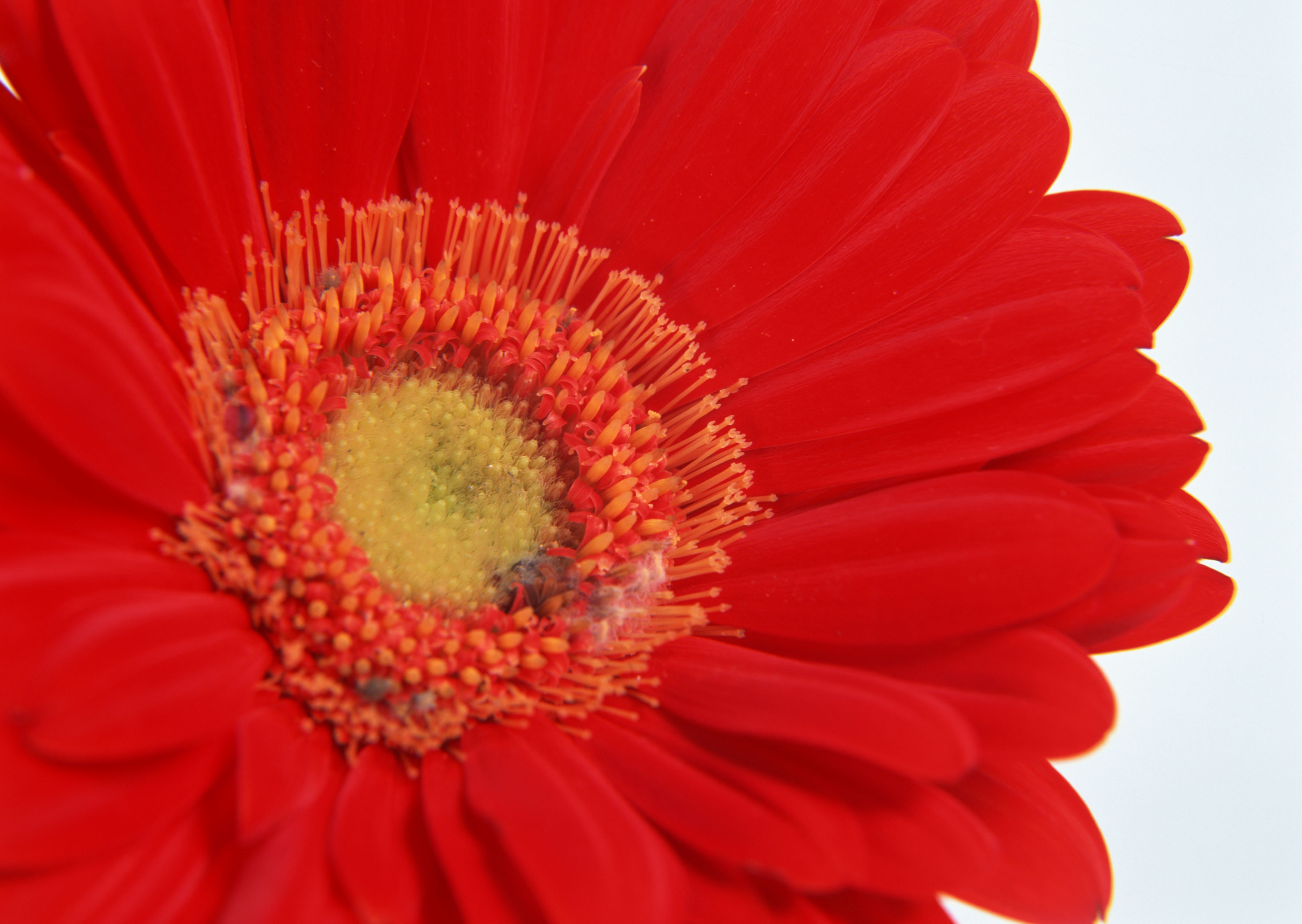 Free download high resolution image - free image free photo free stock image public domain picture -Red Gerber Blumen