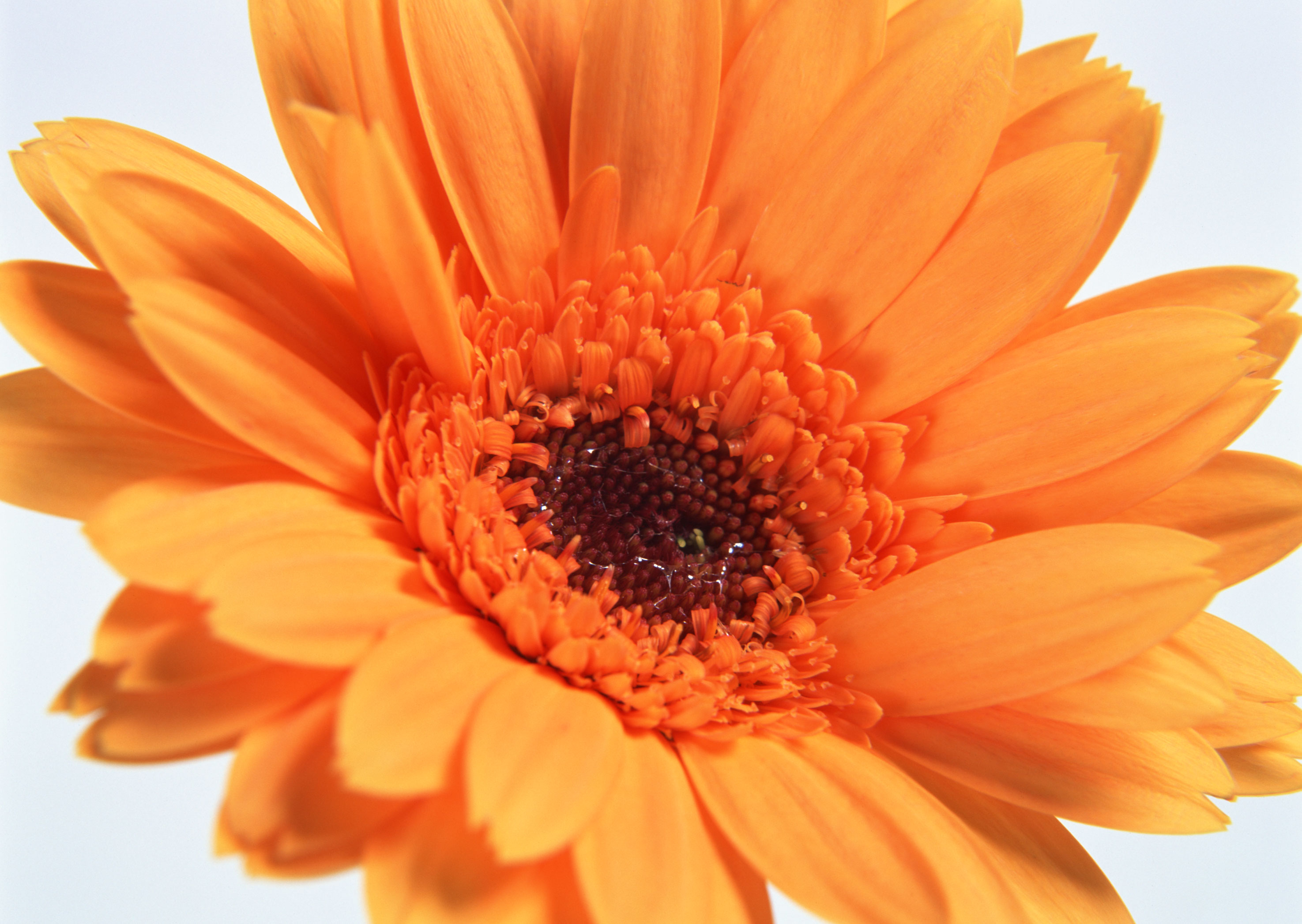 Free download high resolution image - free image free photo free stock image public domain picture -Farbe Orange gerber Blumen