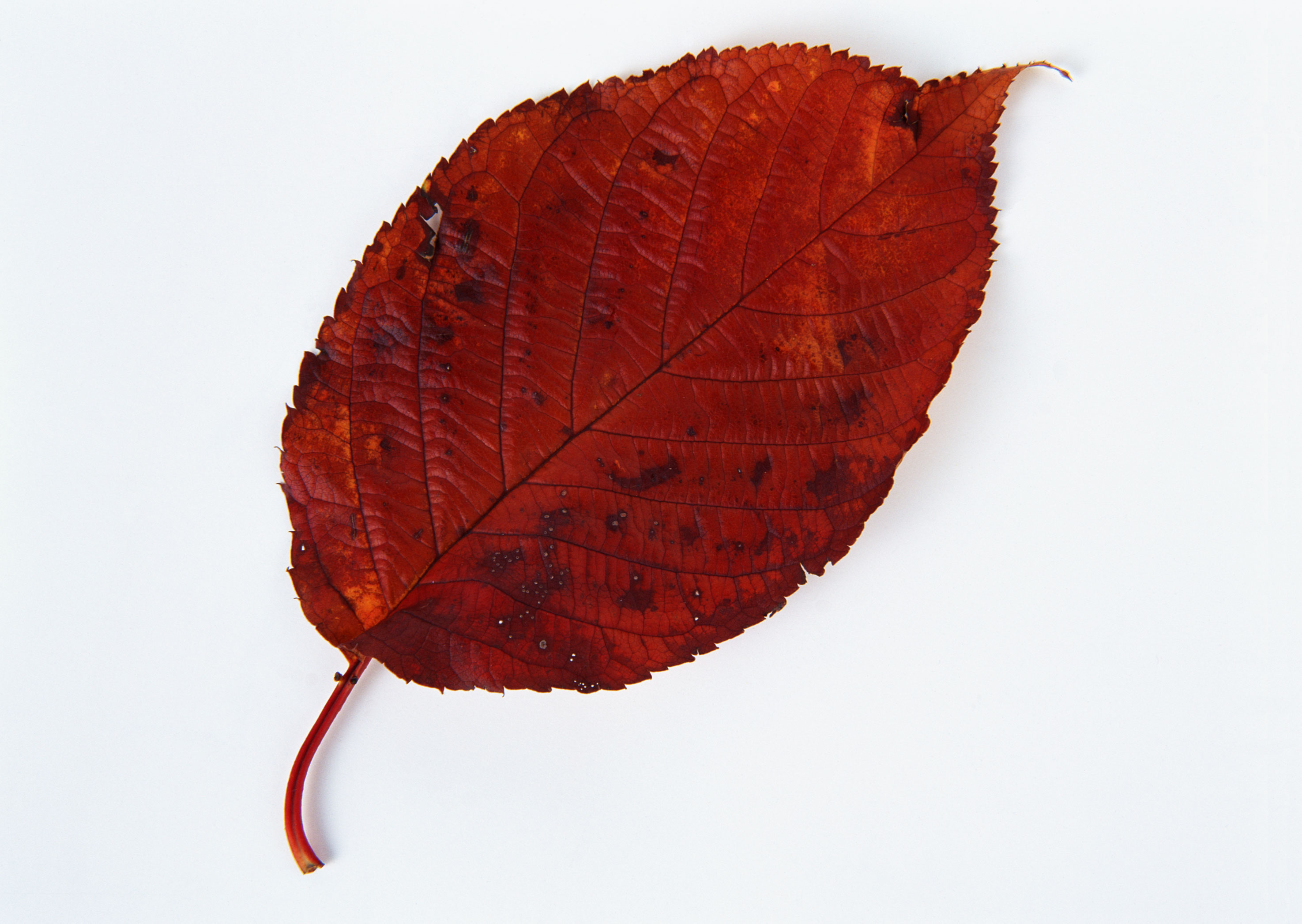 Free download high resolution image - free image free photo free stock image public domain picture -Fall leaf isolated on white background