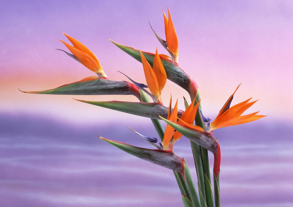 Bird of Paradise Flowers, Tropical flower