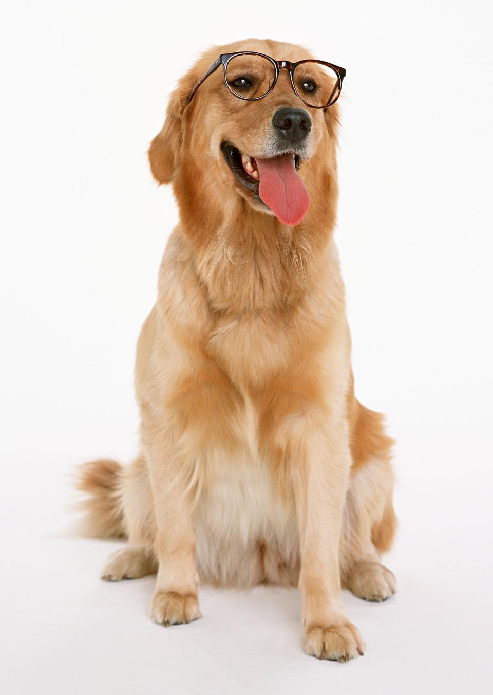 Free download high resolution image - free image free photo free stock image public domain picture  Golden retriever pet dog laying down