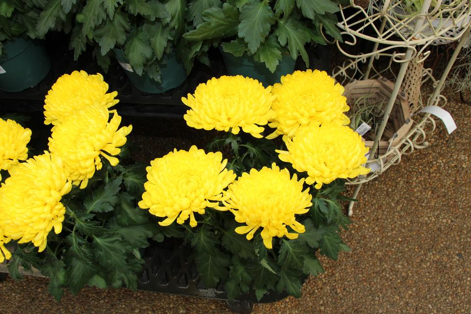 Free download high resolution image - free image free photo free stock image public domain picture  Yellow chrysanthemum flowers