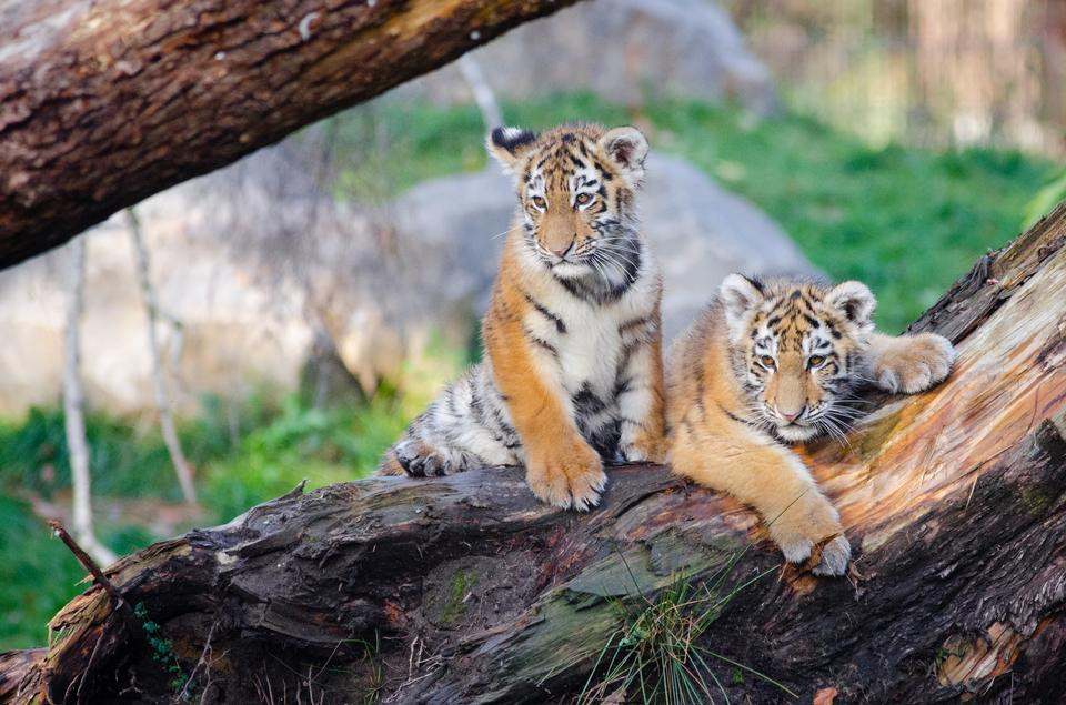 Free download high resolution image - free image free photo free stock image public domain picture  Siberian tigers