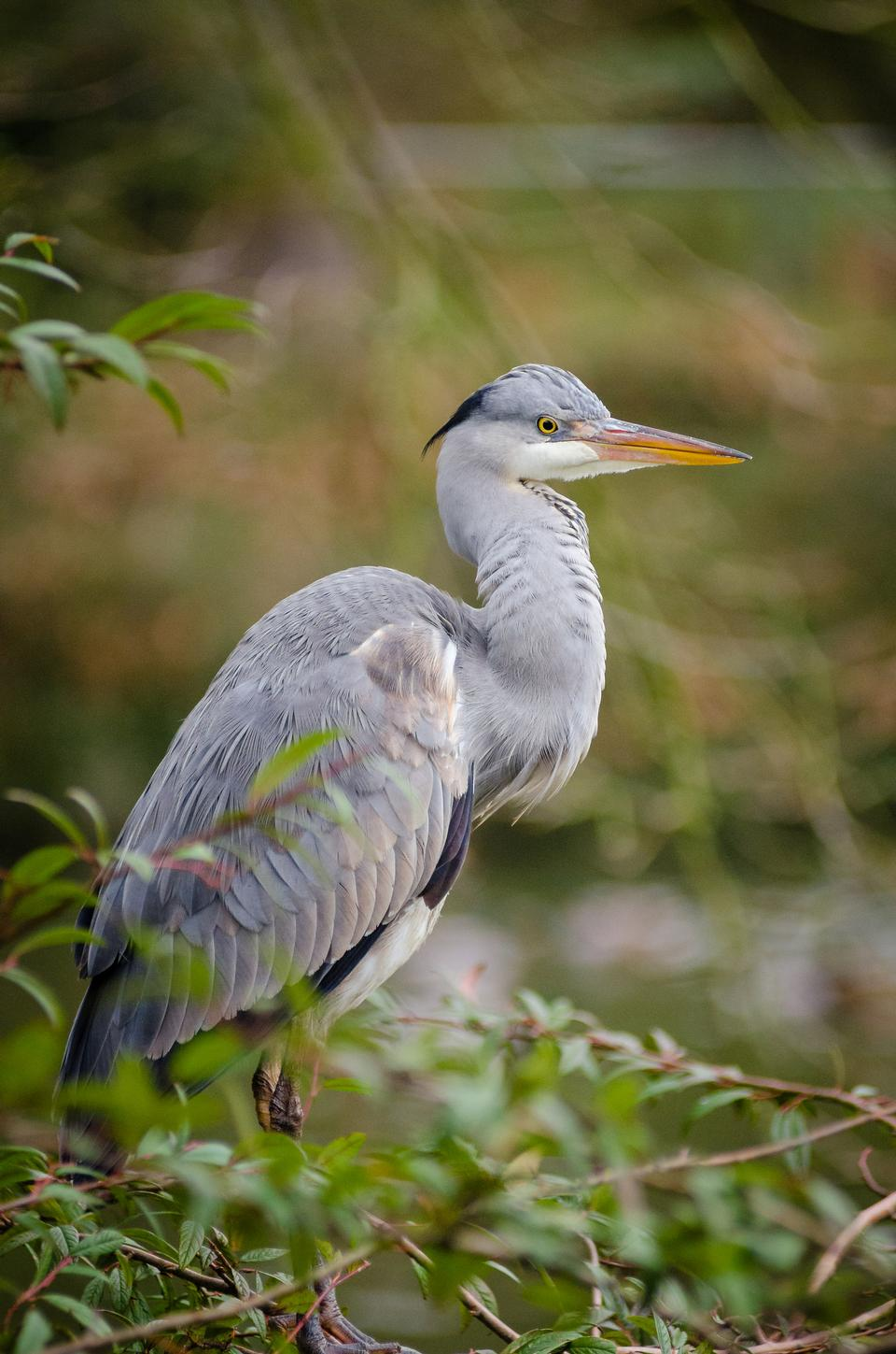 Free download high resolution image - free image free photo free stock image public domain picture  Grey heron