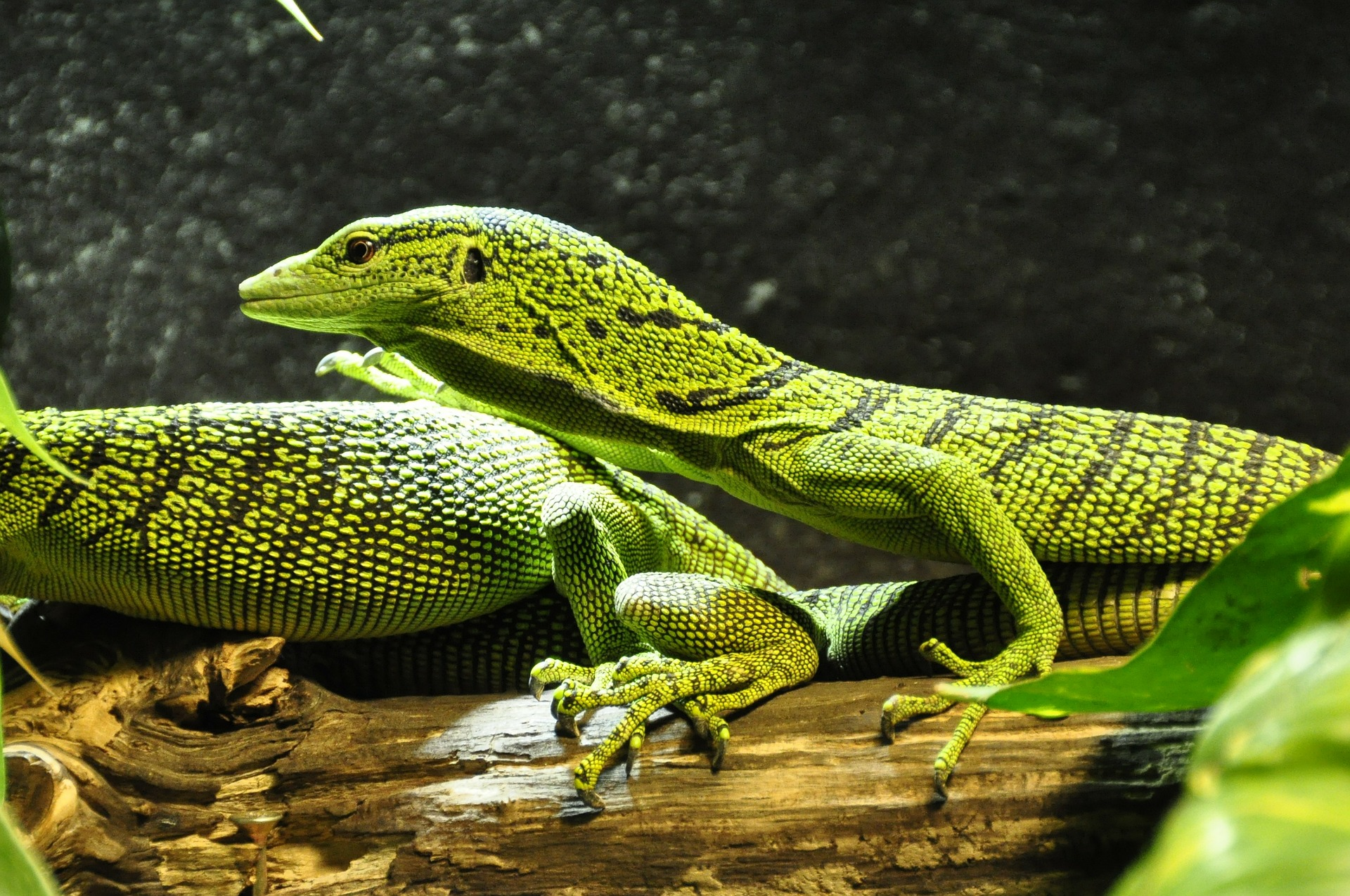 Free download high resolution image - free image free photo free stock image public domain picture -Two varanus