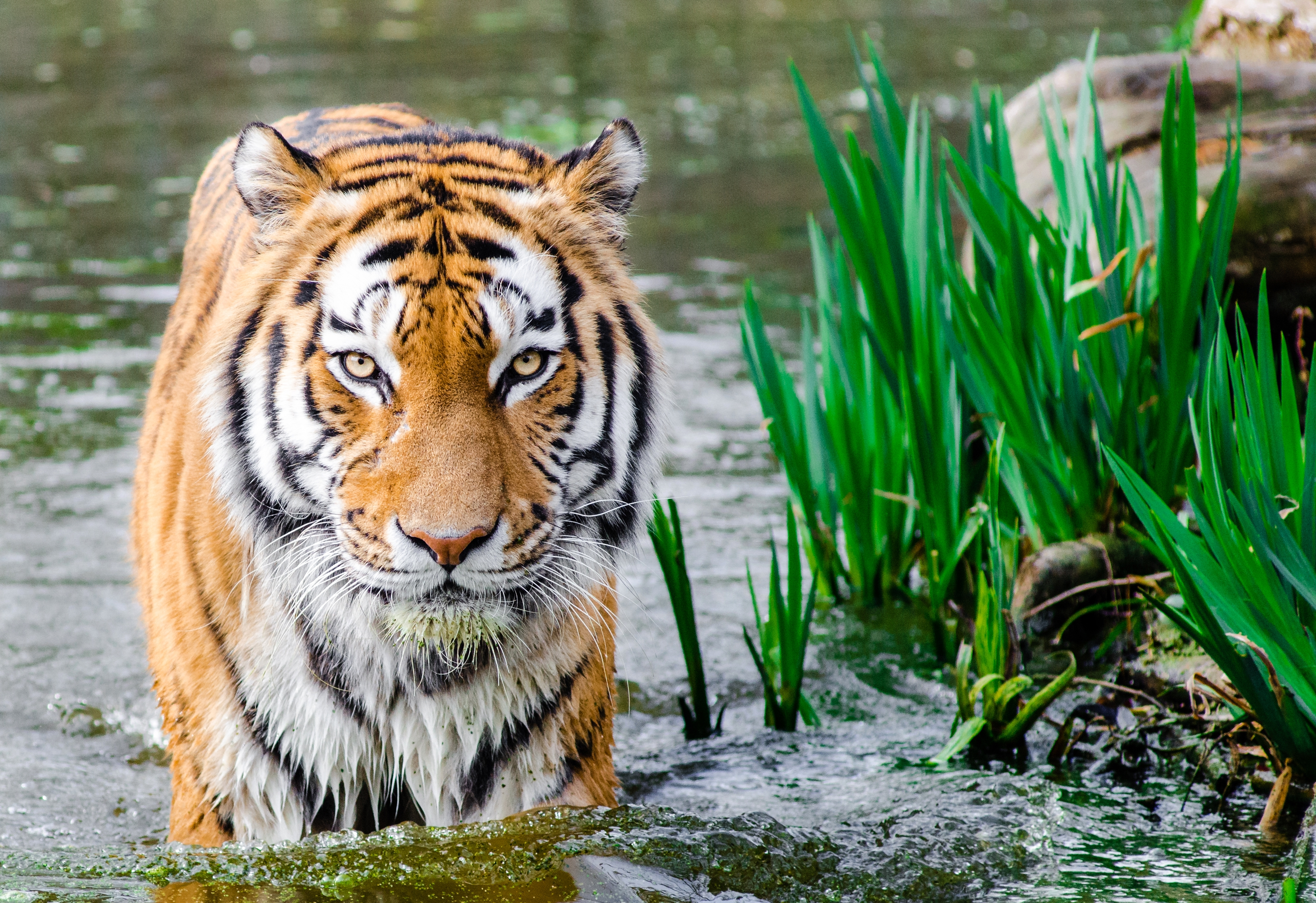 Free download high resolution image - free image free photo free stock image public domain picture -Sibirische Tiger im Wasser