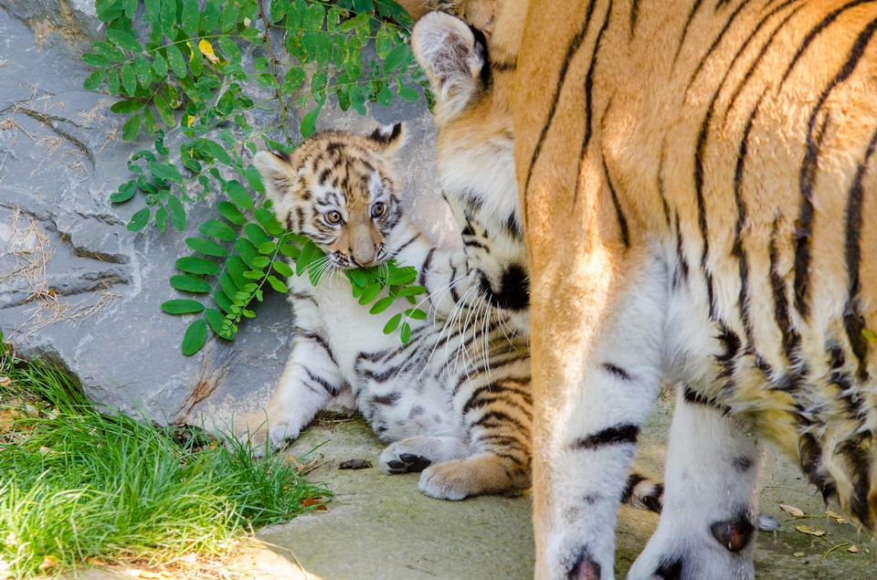 Mother and baby tiger cub