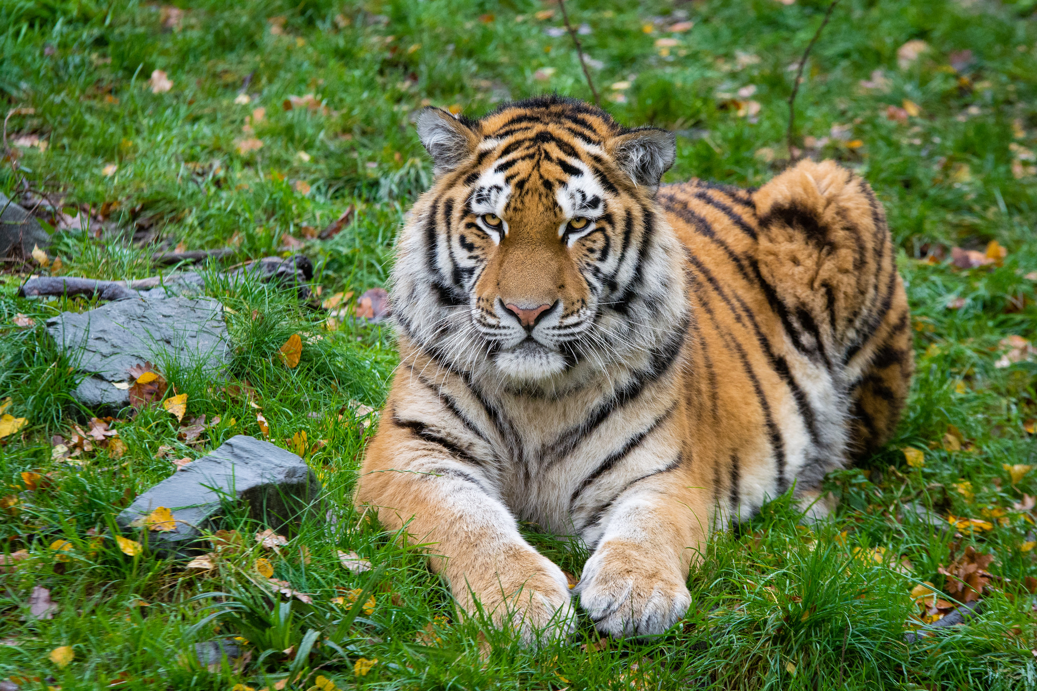Free download high resolution image - free image free photo free stock image public domain picture -Tigre de Sibérie sur l'herbe verte