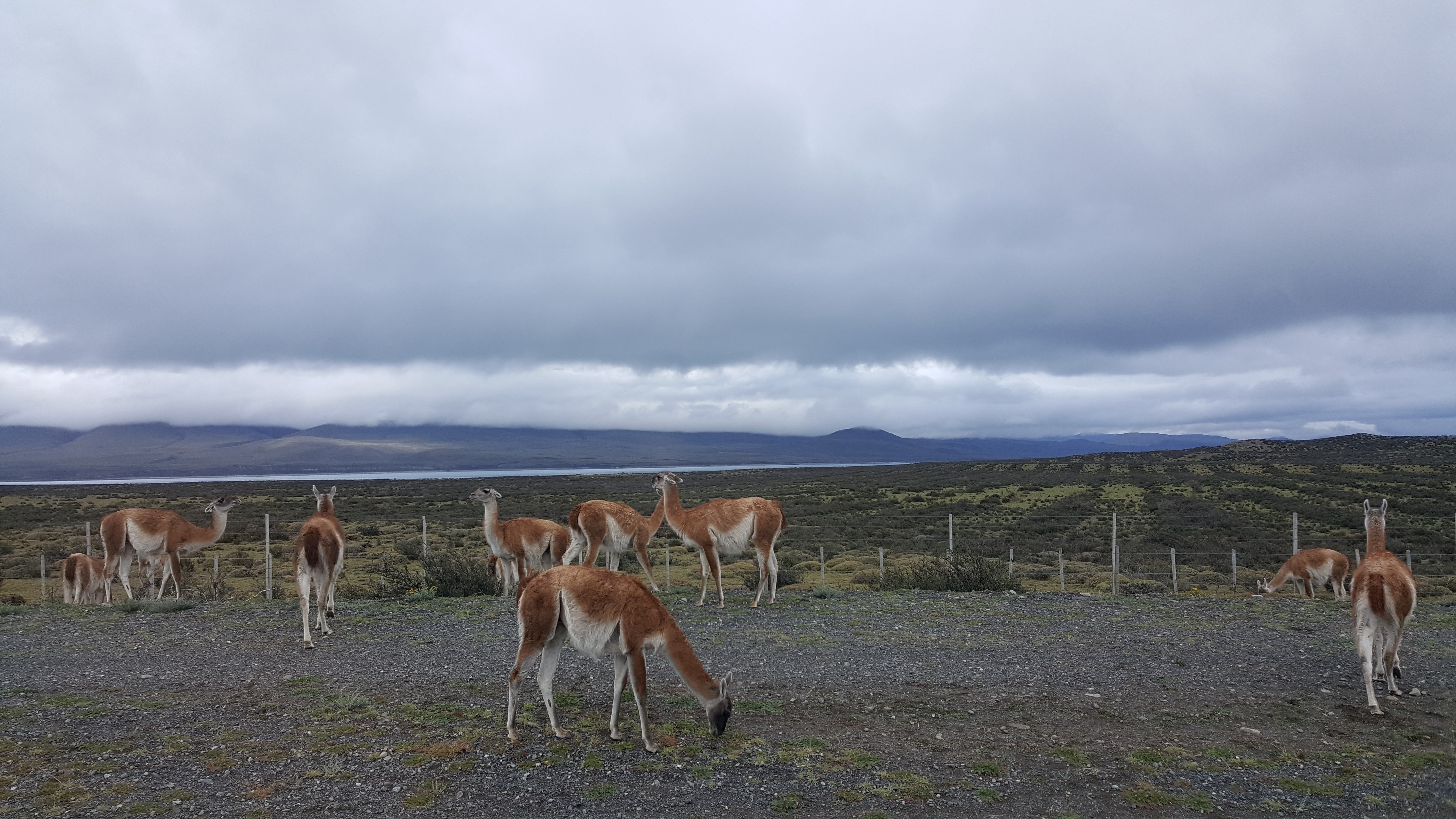 Free download high resolution image - free image free photo free stock image public domain picture -Guanaco in Torres del Paine National Park