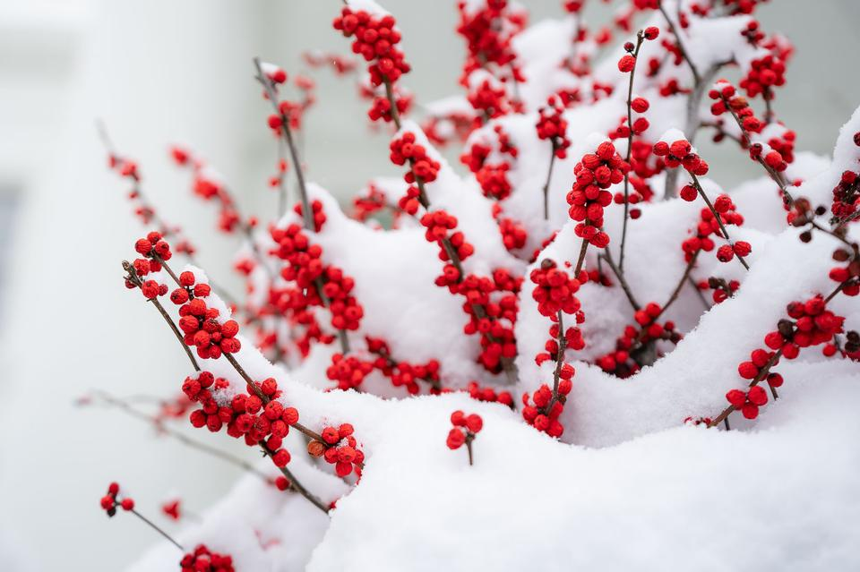 Free download high resolution image - free image free photo free stock image public domain picture  Snow-covered red berries are seen at the White House
