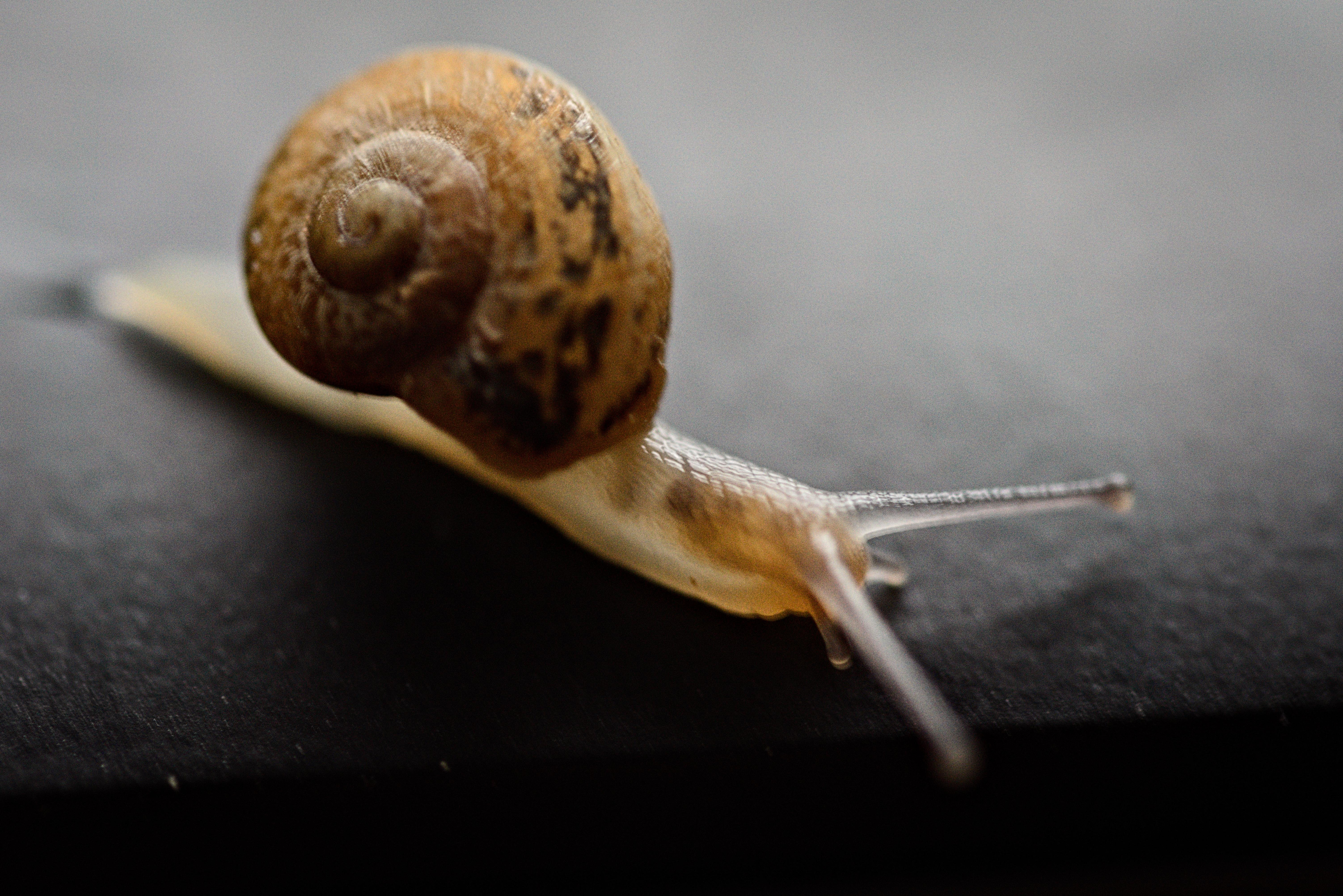 Free download high resolution image - free image free photo free stock image public domain picture -Snail Achatina on a dark background.