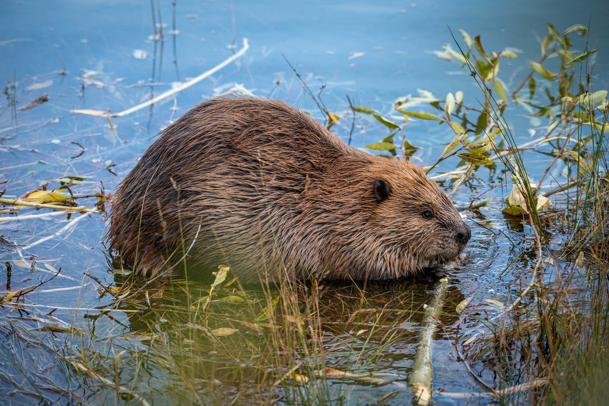 Free download high resolution image - free image free photo free stock image public domain picture -Beaver
