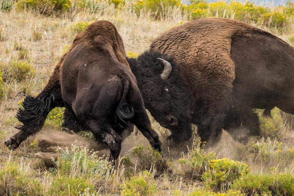 Free download high resolution image - free image free photo free stock image public domain picture  Schlacht am Bison
