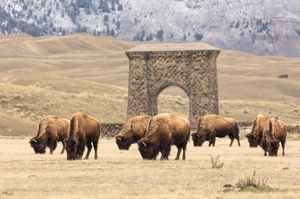 Free download high resolution image - free image free photo free stock image public domain picture  Bison in Yellowstone National Park, Gardiner, Montana