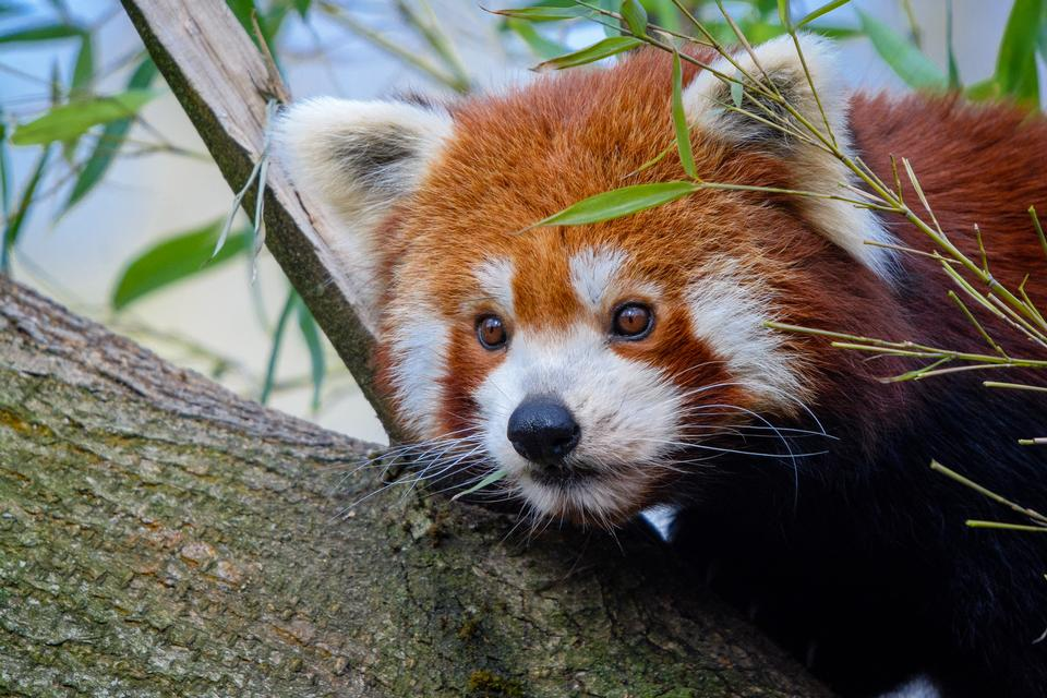 Free download high resolution image - free image free photo free stock image public domain picture  Red panda napping in a large tree