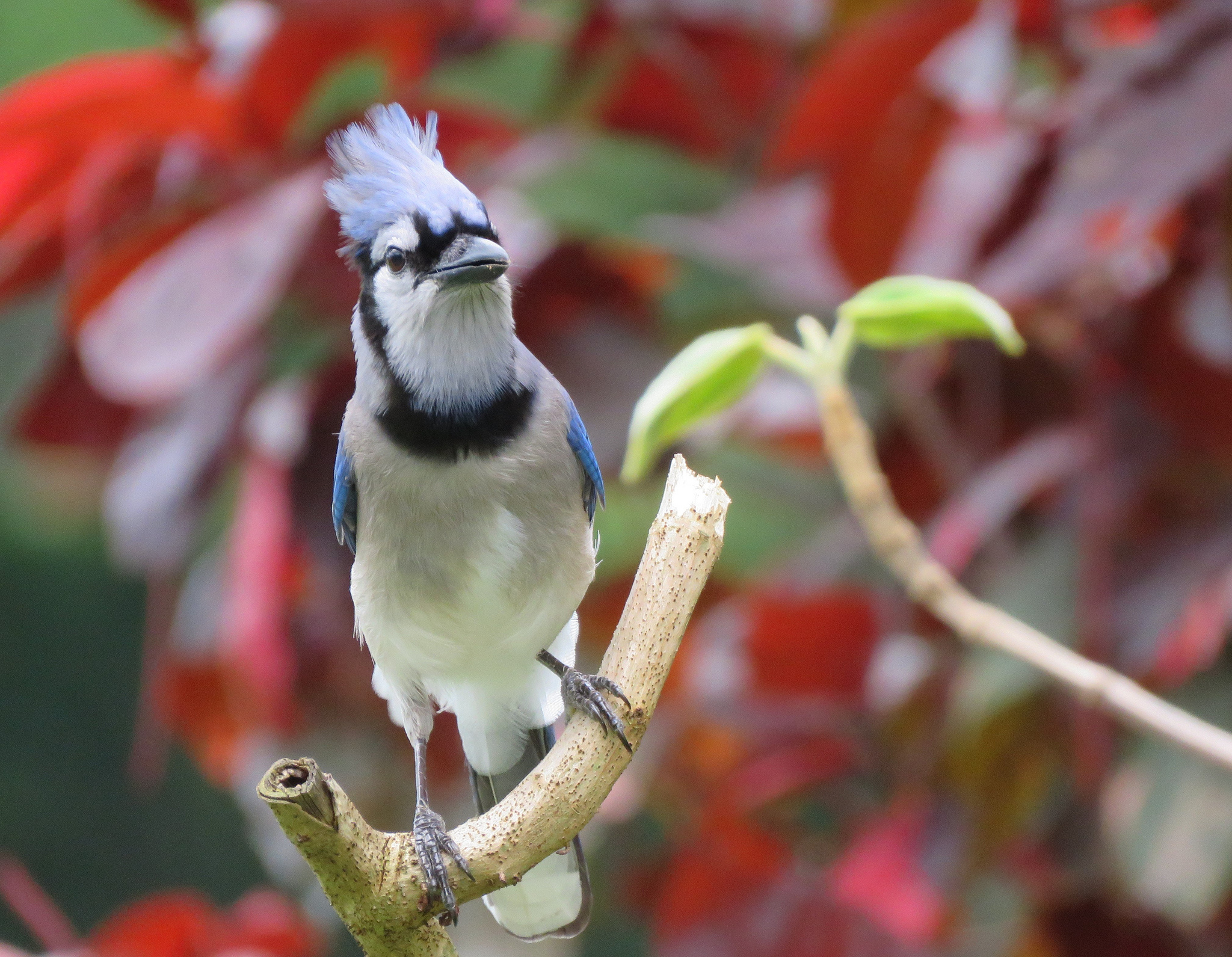 Free download high resolution image - free image free photo free stock image public domain picture -A Blue Jay perched on tree branch