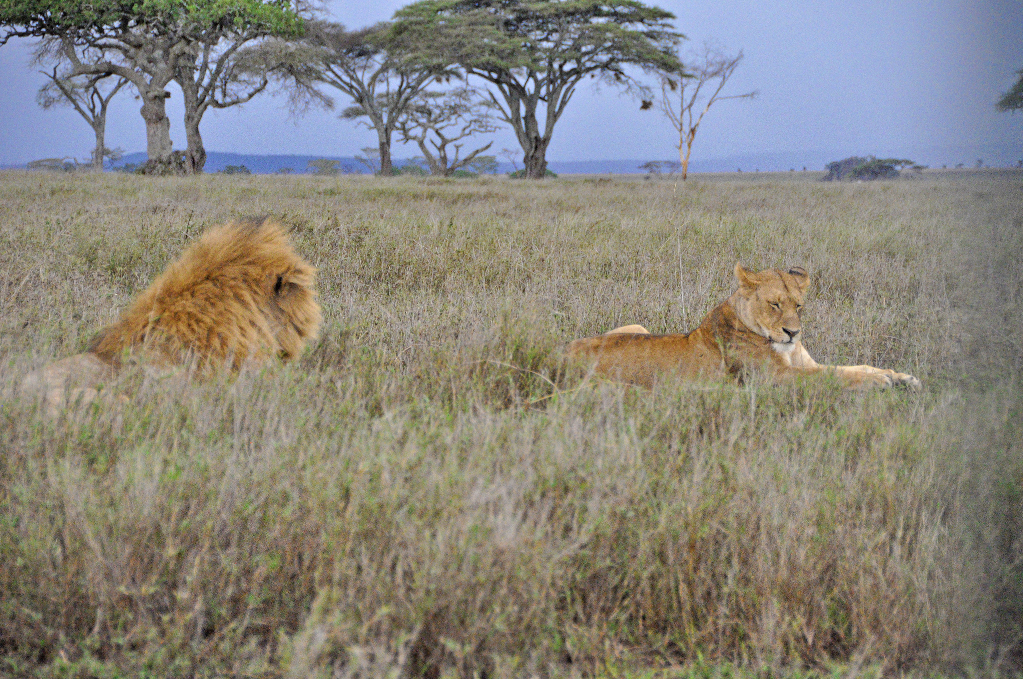 Free download high resolution image - free image free photo free stock image public domain picture -Masai Mara Lion