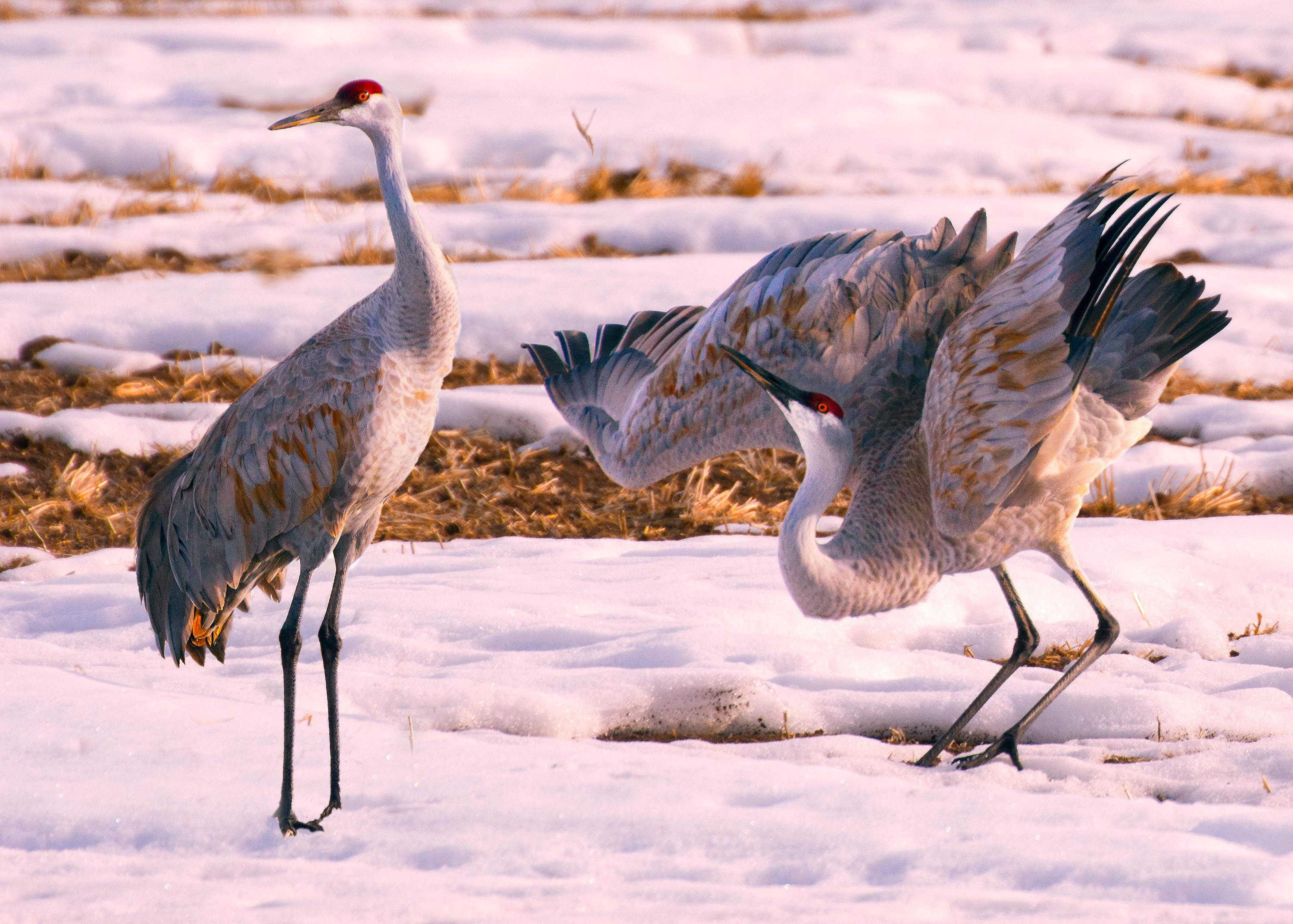 Free download high resolution image - free image free photo free stock image public domain picture -Sandhill Crane Couple in Snow
