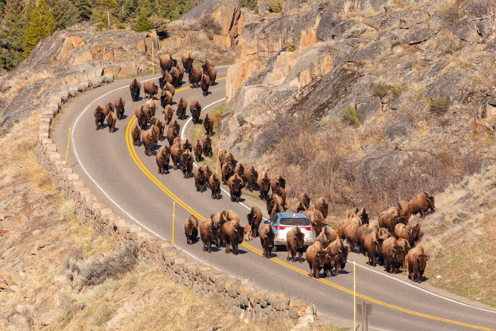 Free download high resolution image - free image free photo free stock image public domain picture -A group of bison surround a car