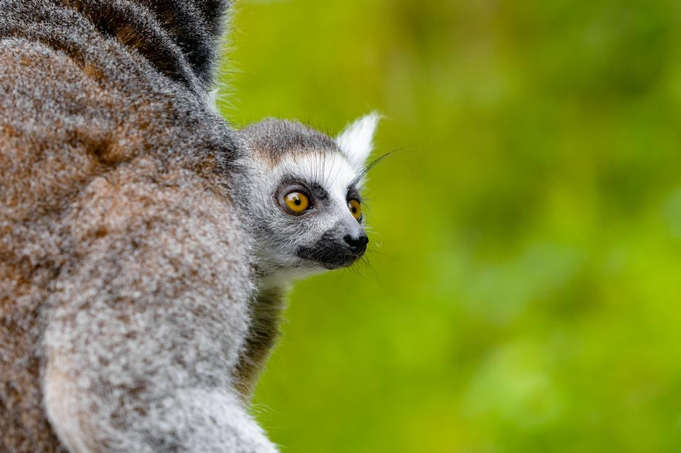 Free download high resolution image - free image free photo free stock image public domain picture  A Ring-shaped baby lemur with mom