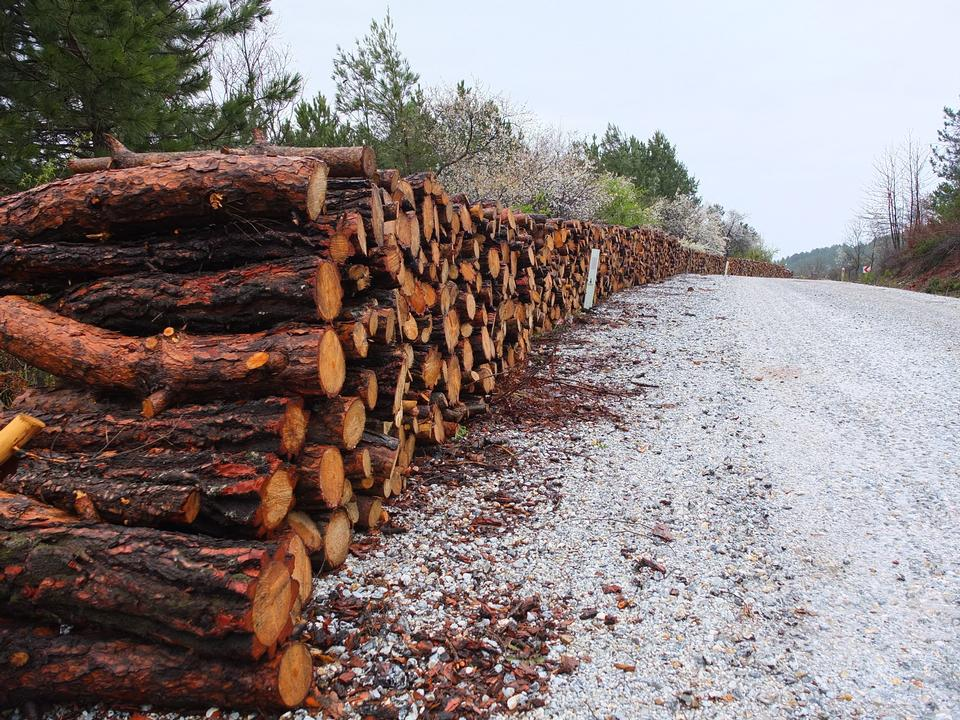 Wooden logs of pine woods in the forest, stacked in a pile
