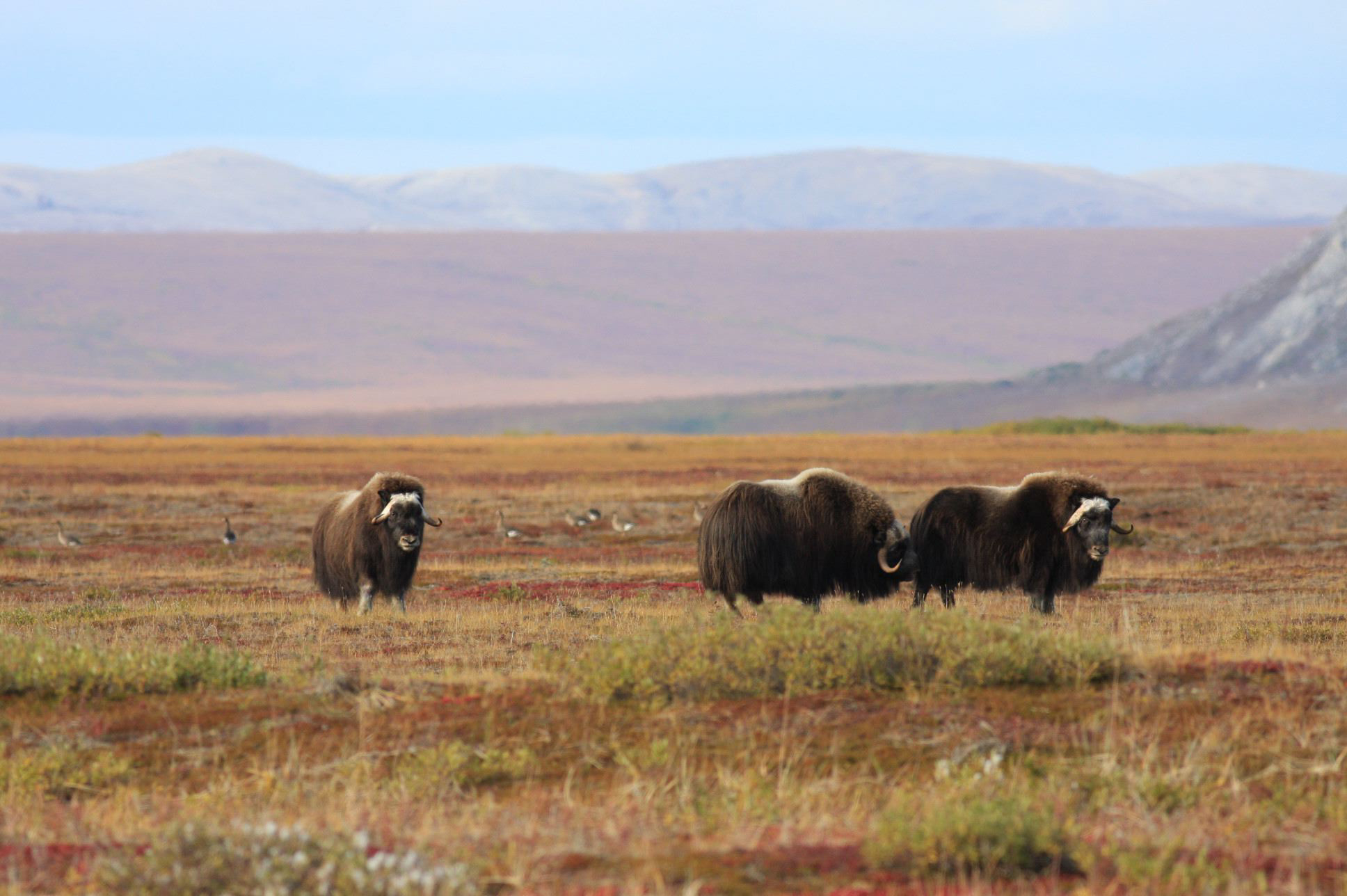 Free download high resolution image - free image free photo free stock image public domain picture -Muskox and Greater White-fronted Geese