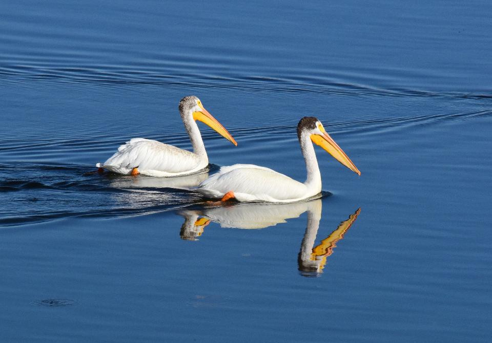 Free download high resolution image - free image free photo free stock image public domain picture  American white pelican