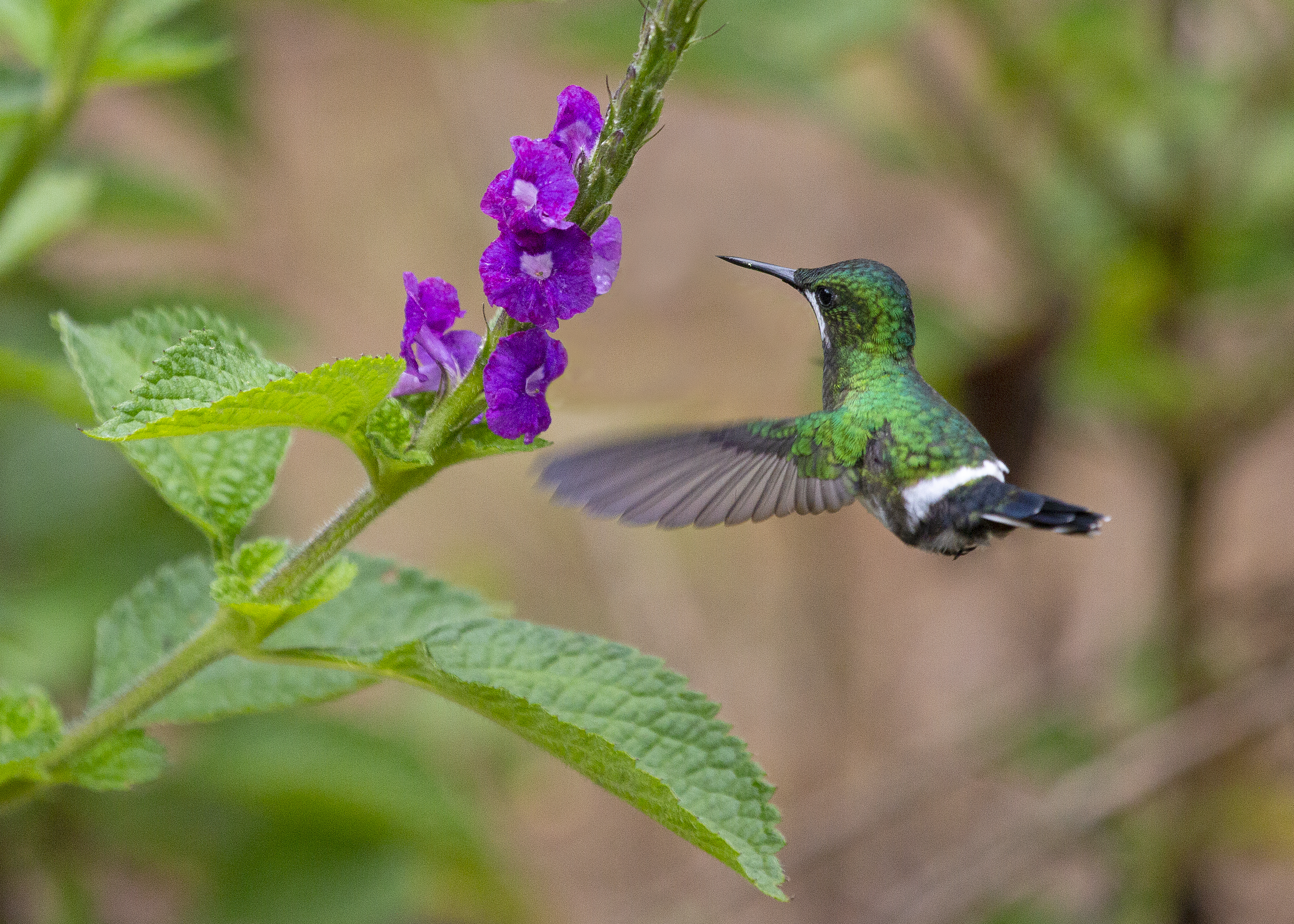 Free download high resolution image - free image free photo free stock image public domain picture -Green and blue hummingbird Sparkling Violetear