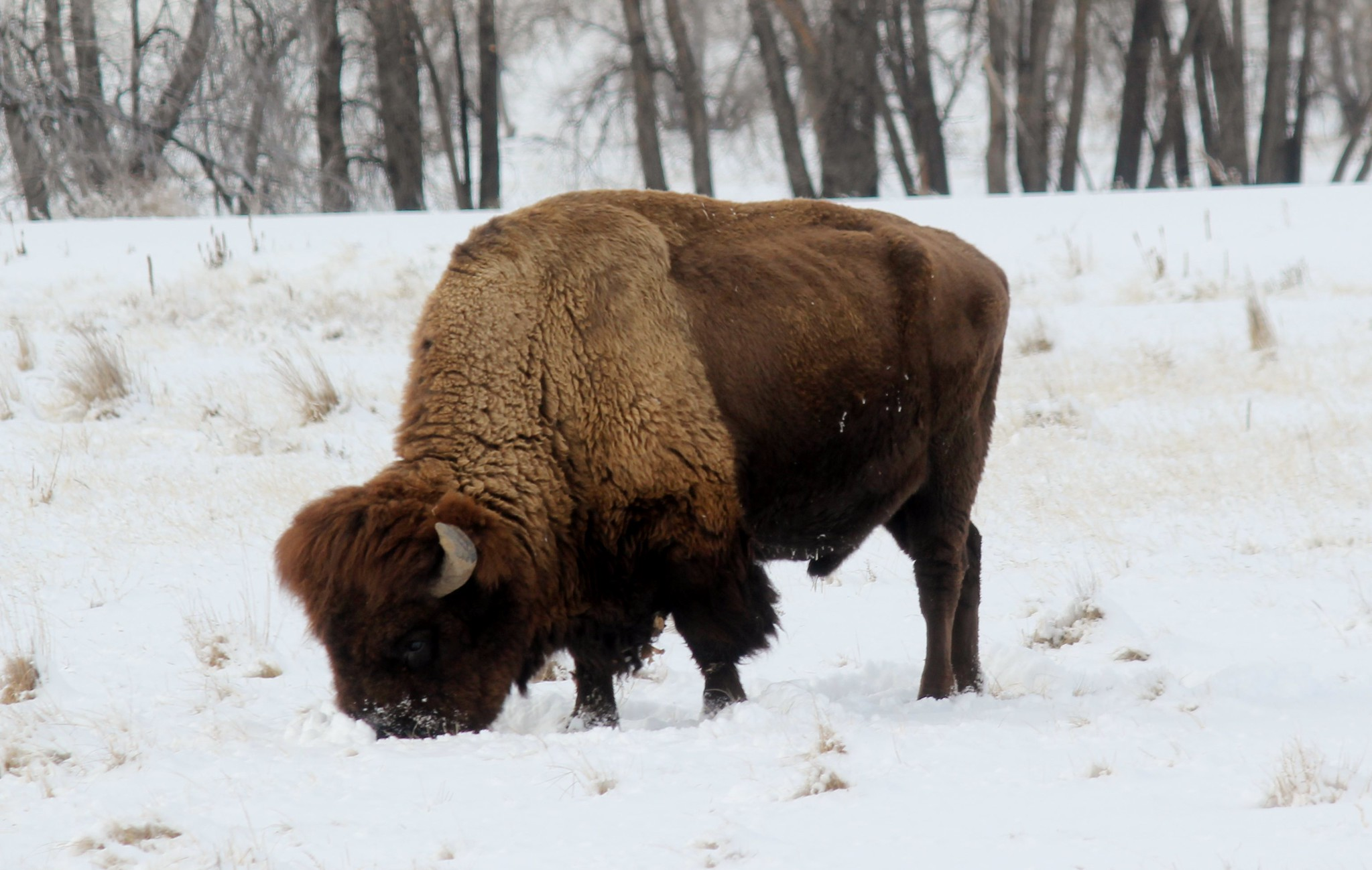 Free download high resolution image - free image free photo free stock image public domain picture -Bison