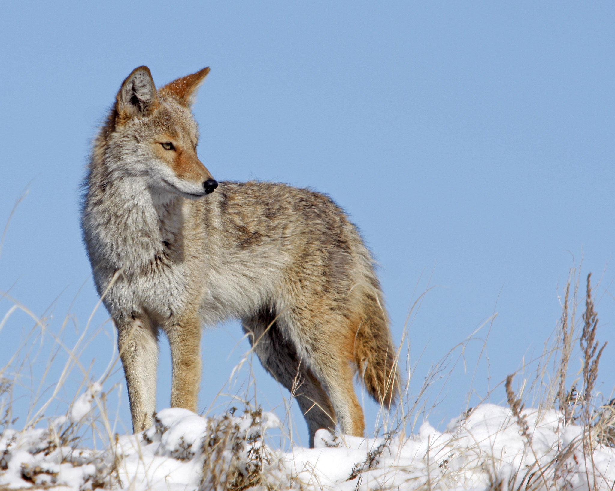 Free download high resolution image - free image free photo free stock image public domain picture -Coyote