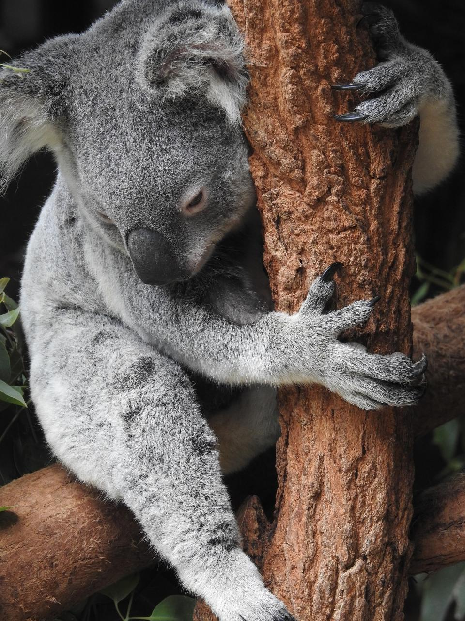 Free download high resolution image - free image free photo free stock image public domain picture  A sleeping koala