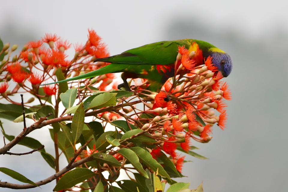 Free download high resolution image - free image free photo free stock image public domain picture  Rainbow lorikeet