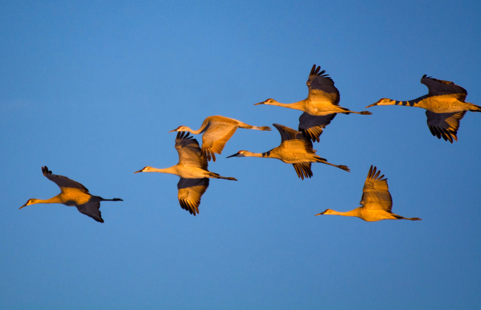 Free download high resolution image - free image free photo free stock image public domain picture  Sandhill Crane Flying