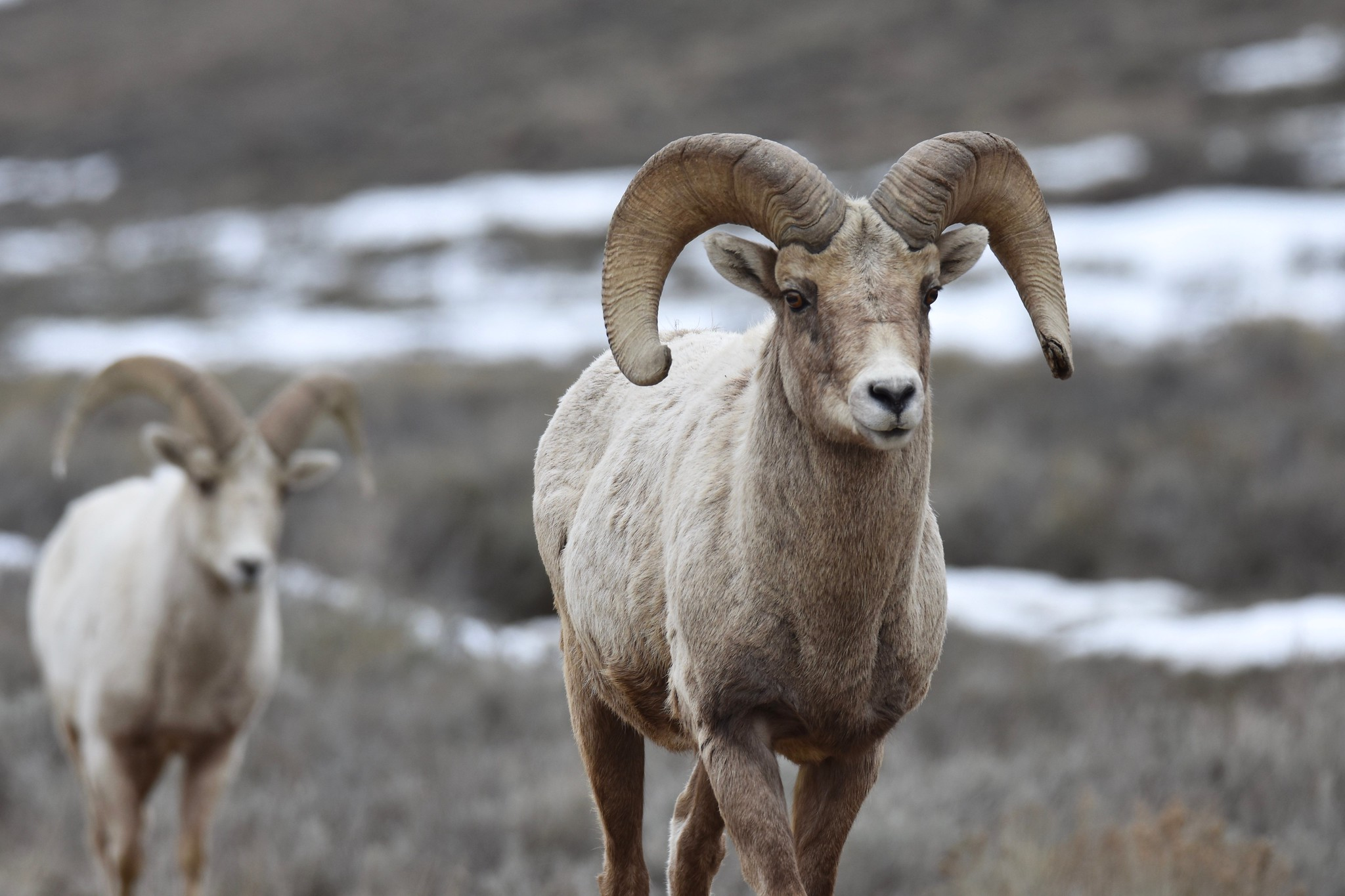 Free download high resolution image - free image free photo free stock image public domain picture -Rocky Mountain bighorn sheep